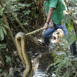 A man in a green shirt holds a large python out of the water, at the end of a stick.