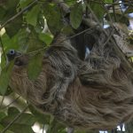 Sloth in tree.