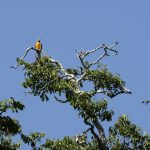 Blue and yellow macaw in the top of a tree.