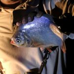 A man holds a fish. It is dark, lit by torch light.