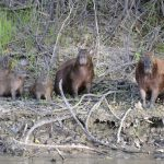 Two adult and three young capybara face the camera by the edge of the river.